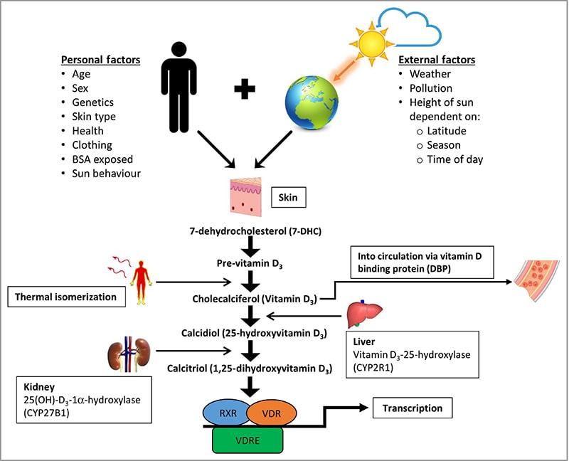 Melanin có tác dụng giúp cơ thể hấp thụ vitamin D
