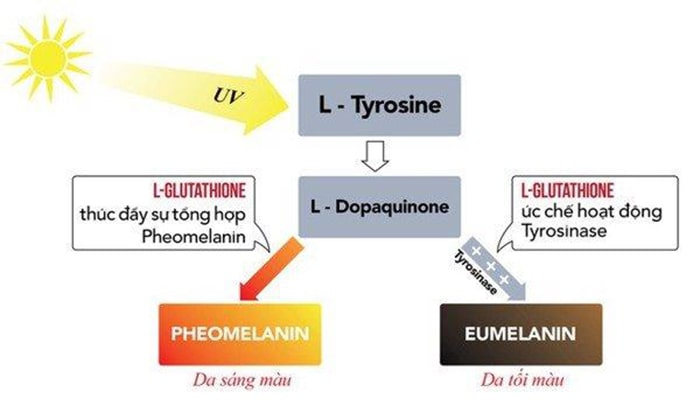 L-Glutathione làm trắng da toàn thân như thế nào?